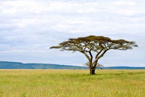 Serengetitree-site.jpg