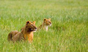 lions4444web.jpg